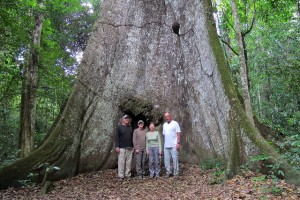 Ancient kapok tree on the Amazon River